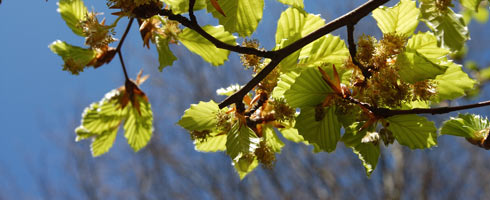 Beech buds and leaves