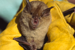 Greater horseshoe bat (Rhinolophus ferrumequinum). The bat is one of the most endangered and one of the least known species